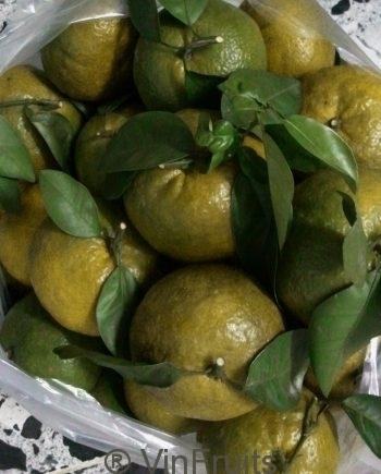 Cam-sanh-Ham-Yen-Tuyen-Quang-Vinfruits