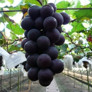 Nho-Kyoho-nhap-khau-Vinfruits.com
