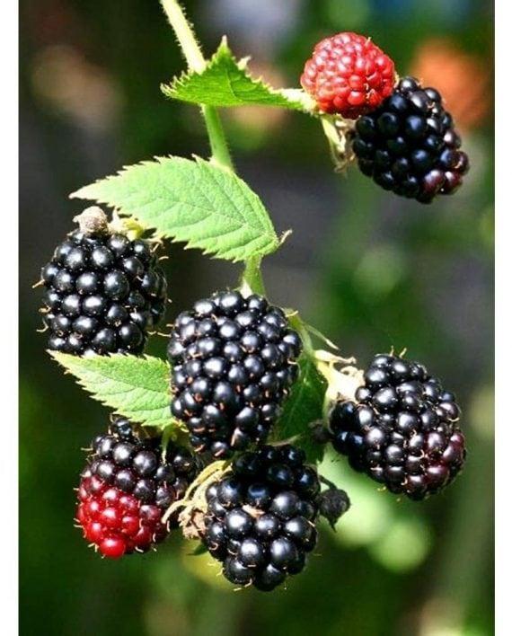 Blackberry-Uc-nhap-khau-Vinfruits.com
