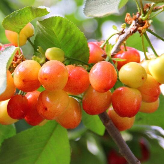Cherry vang My - vinfruits.com 4