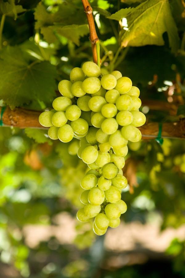 Nho xanh Luisco Úc - Vinfruits.com
