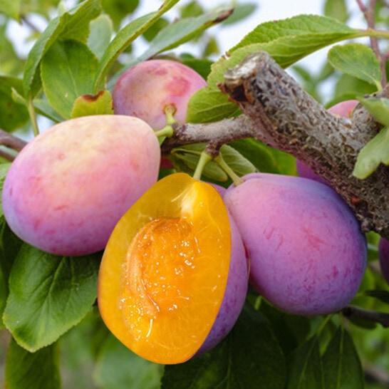 Mận đường Mỹ - vinfruits.com 6
