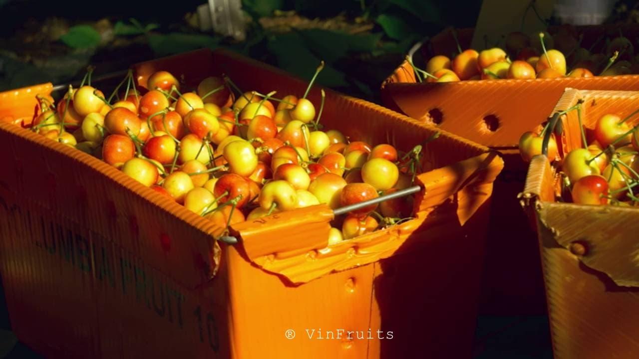 Thu hoạch cherry vàng ở Mỹ - Vinfruits