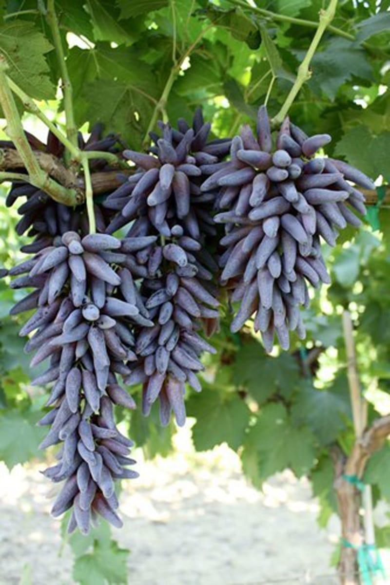 nho-phu-thuy-nho-my-vinfruits.com