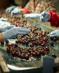 Cherry-Canada-nhap-khau-vinfruits.com