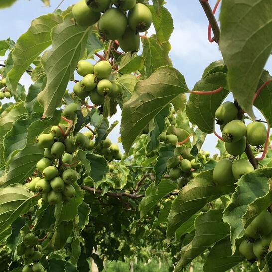 Kiwi berry NZ - vinfruits.com 4