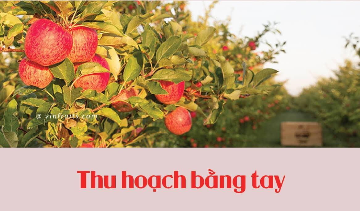 Tao envy NewZealand - vinfruits 6
