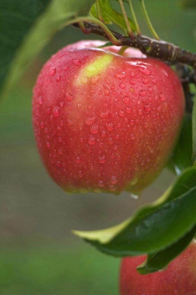 tao-ambrosia-nhap-khau-vinffruits.com 1