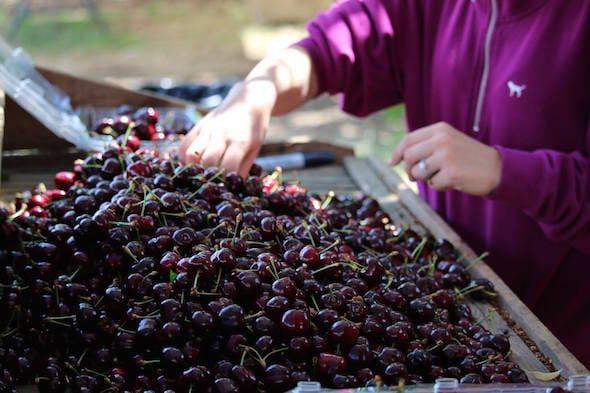 Thu hoạch Cherry đỏ Mỹ - VinFruits