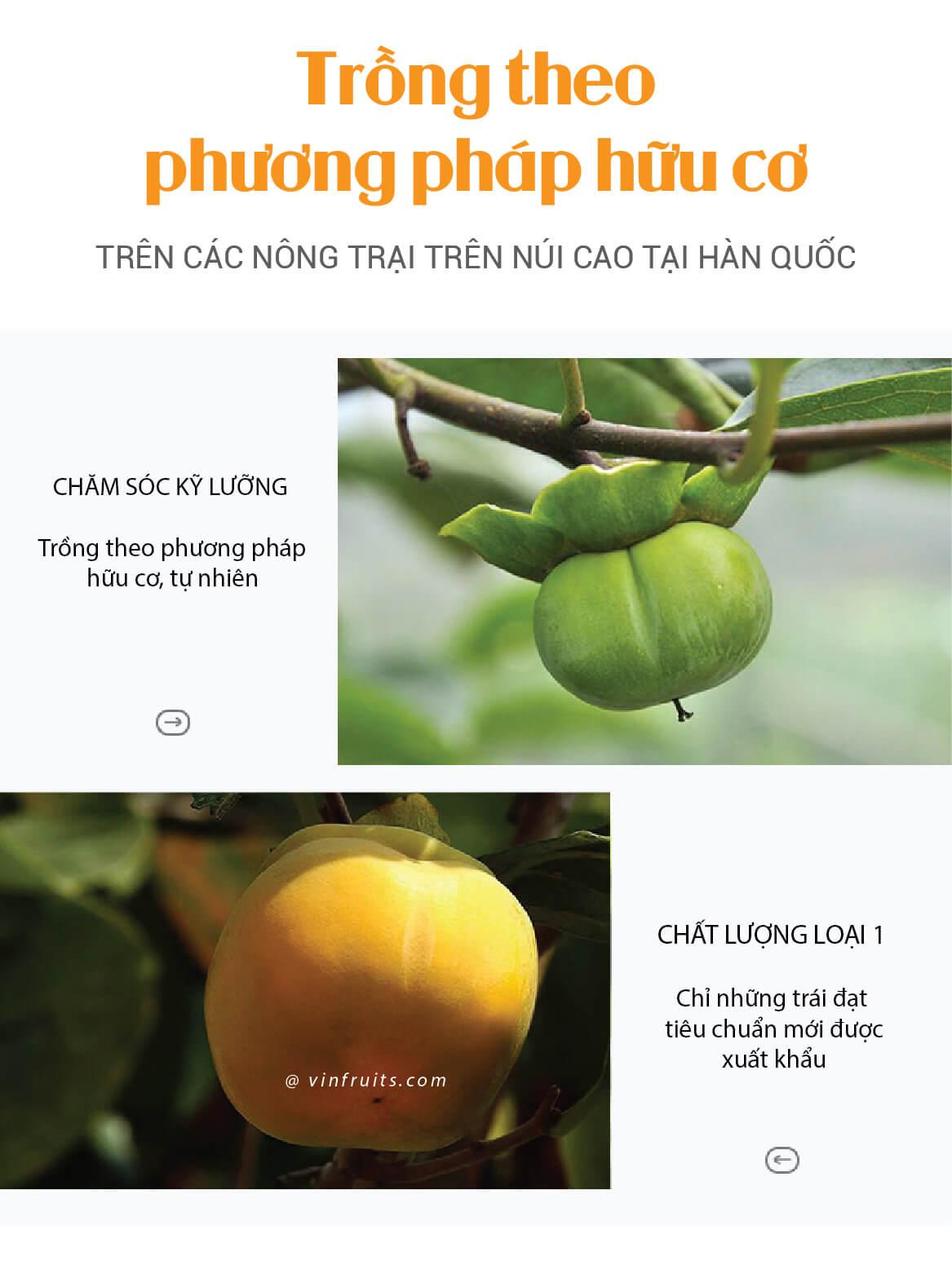 Hong gion Han Quoc - vinfruits 3