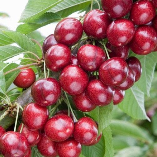 Cherry-Sweetheart