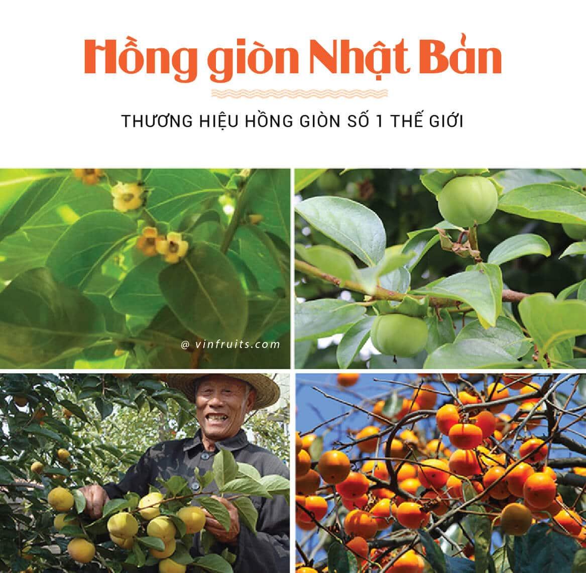 Hong gion Nhat Ban - vinfruits