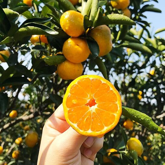 Quýt Sentoka Nhật - vinfruits.com 2