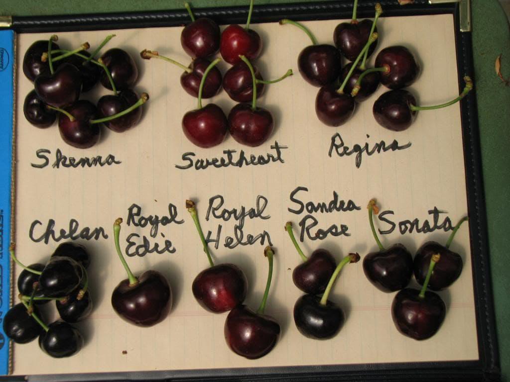 USA Cherry variety