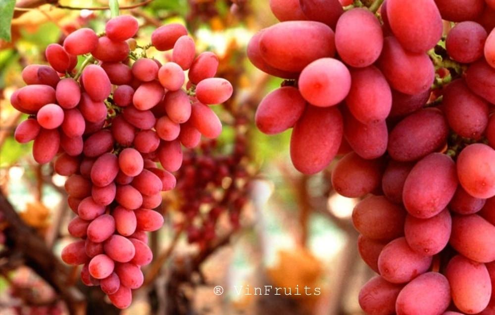 Nho-đỏ-crimson-seedless-vinfruits