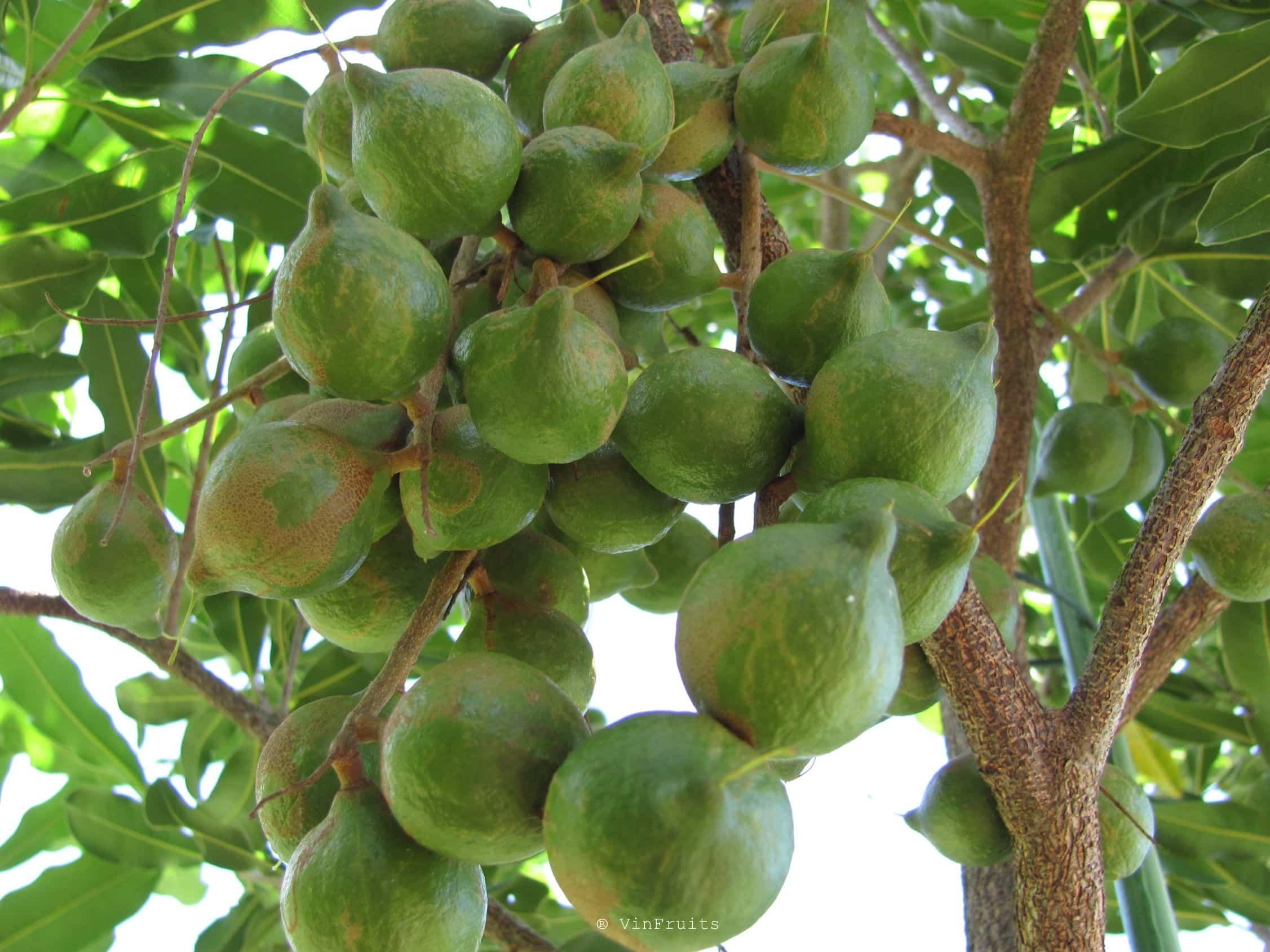Cây macca - Vinfruits