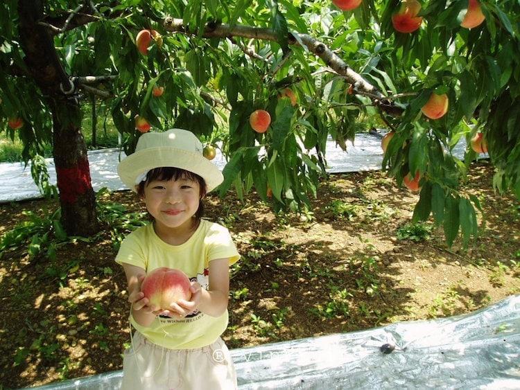 Cach người Nhật trồng quả đào - Vinfruits
