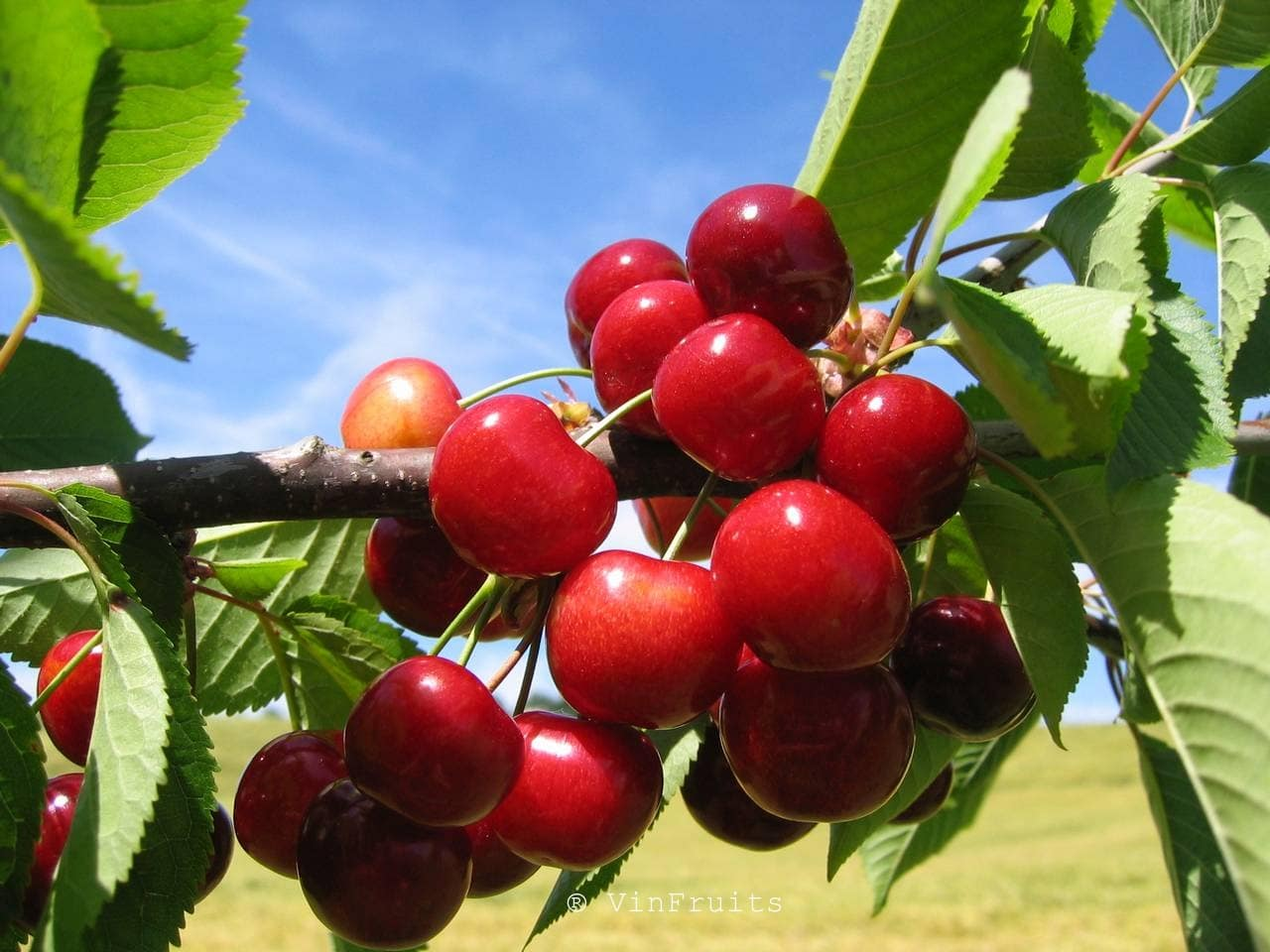 Cherries Mỹ - Vinfruits