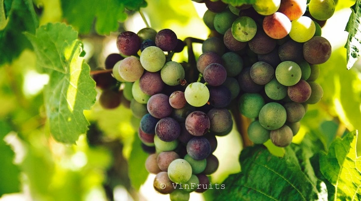 Nho Mỹ _ Vinfruits