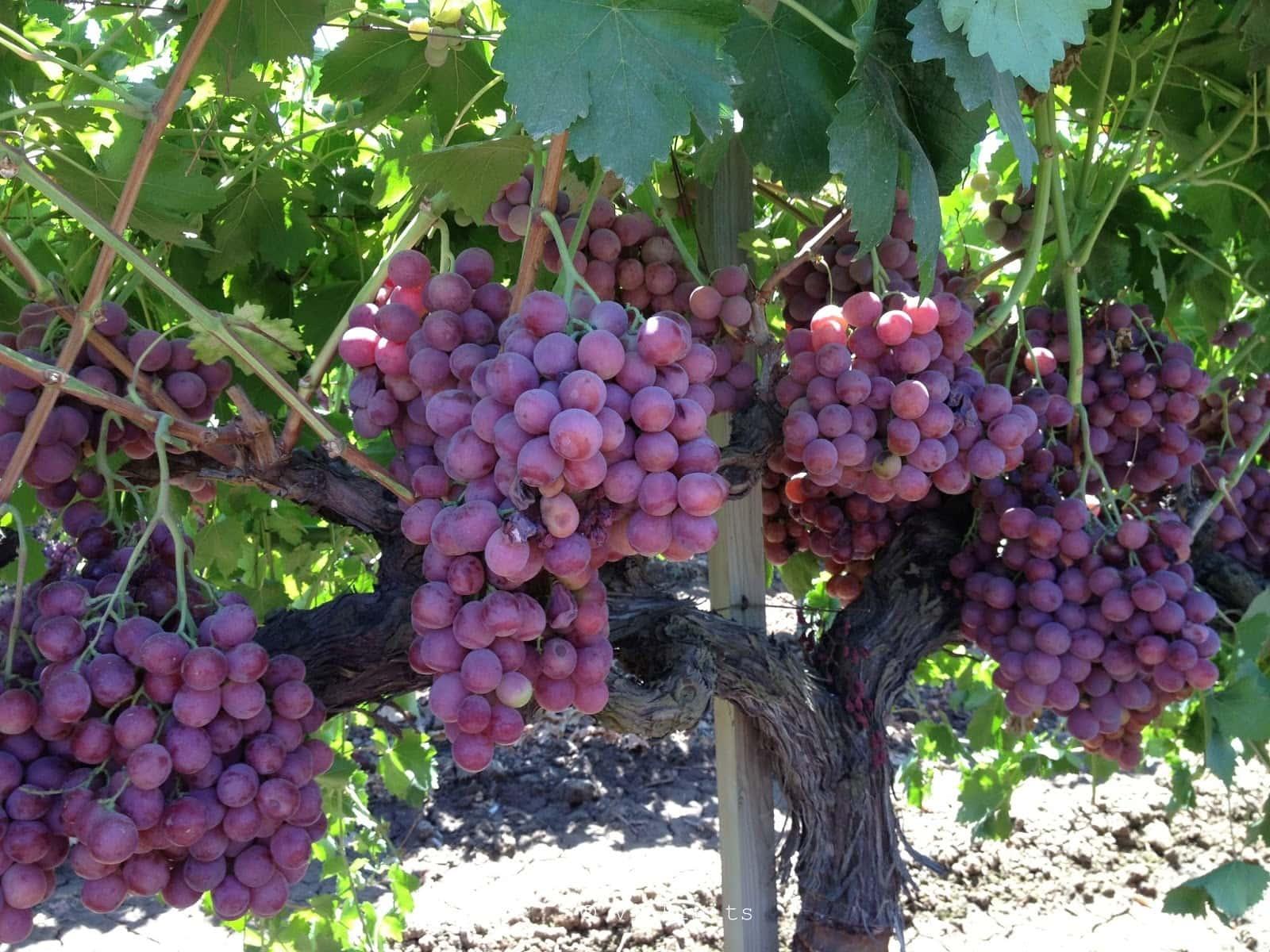 Nho Mỹ nhập khẩu - Vinfruits