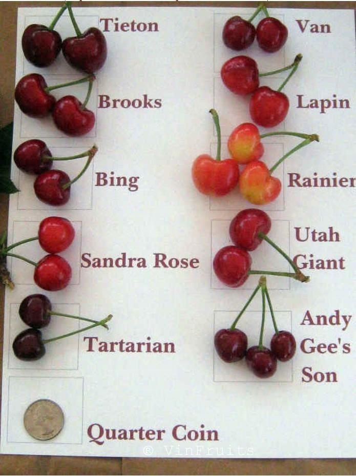 Phân biệt các loại cherry Mỹ - Vinfruits