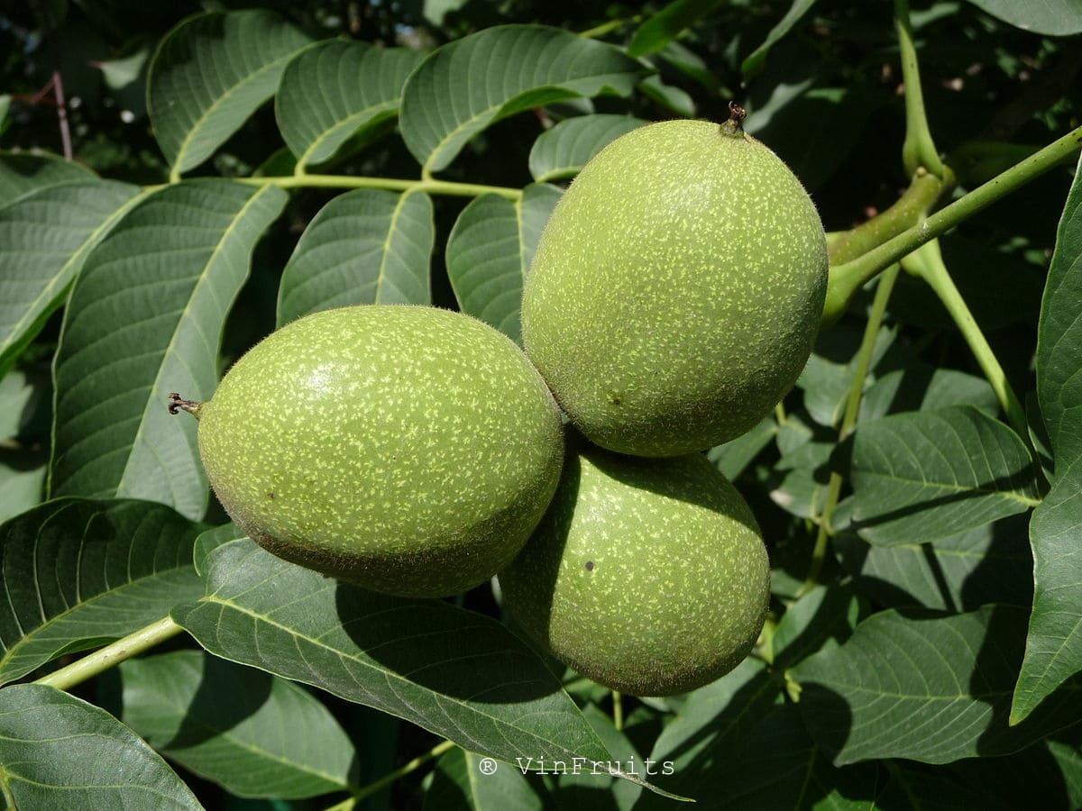 Quả óc chó Việt Nam - Vinfruits