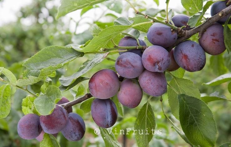 Quả mận đường - Vinfruits