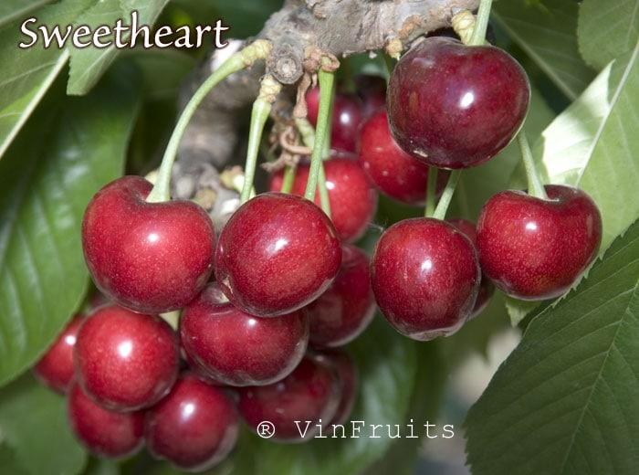 Sweetheart cherry Mỹ - Vinfruits