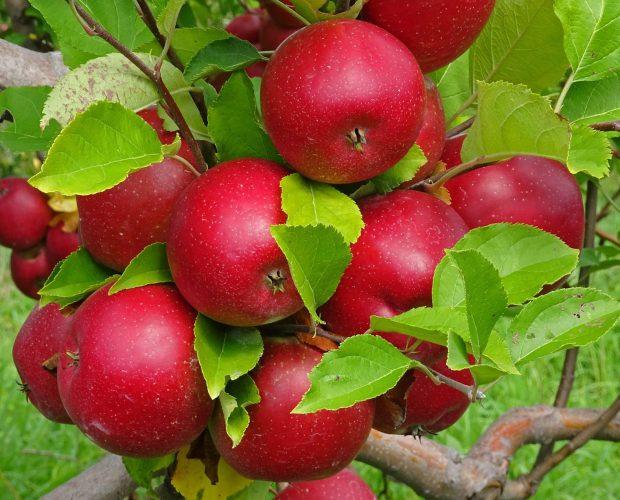 Táo Mỹ - Vinfruits