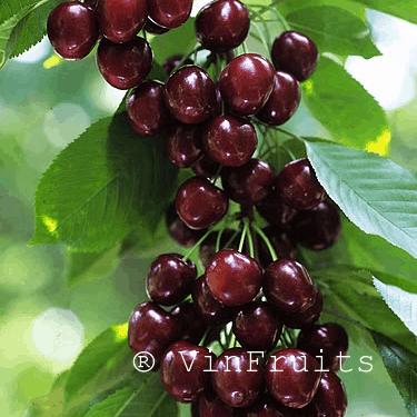 cherry_chelan_Mỹ - Vinfruits