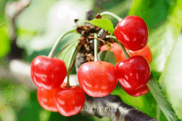 Giá của anh đào Nhật Bản khá đắt đỏ bởi tính quý hiếm và quá trình trồng trọt, bảo quản vô cùng công phu của loại trái cây Nhật này.
