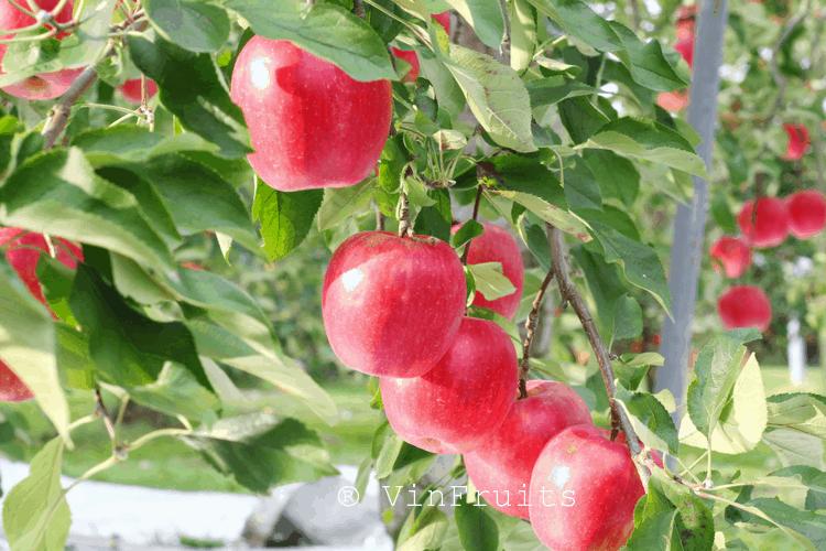 Ringo cũng là một trong số ít các loại trái cây Nhật được xuất khẩu với số lượng lớn.