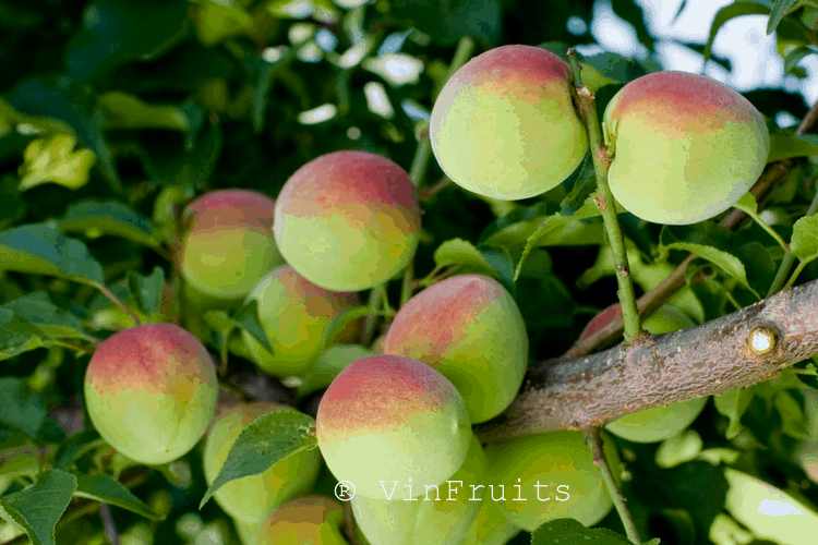 Trái cây Nhật - Ume thường được chế biến thành umeshu (rượu mận).