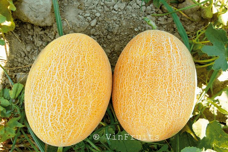 Dưa gang là một trong những trái cây Nhật cao cấp nhất.