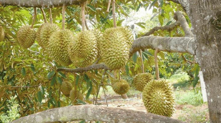 Sau rieng KAMPOT Campuchia - vinfruits 2