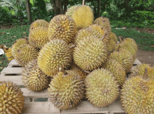 Sau rieng KAMPOT Campuchia - vinfruits 3