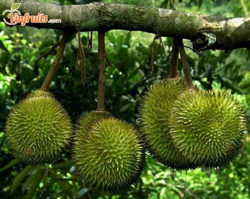 Sầu riêng Ri6 do ông Sáu Ri cấy giống - Vinfruits