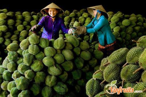 Người dân Bến Tre chủ yếu trồng và bán loại sầu riêng này - Vinfruits