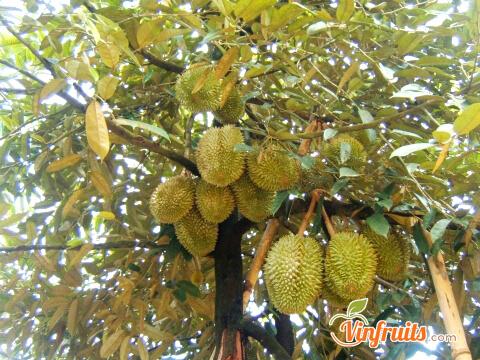 Nên mua sầu riêng đúng mùa - Vinfruits