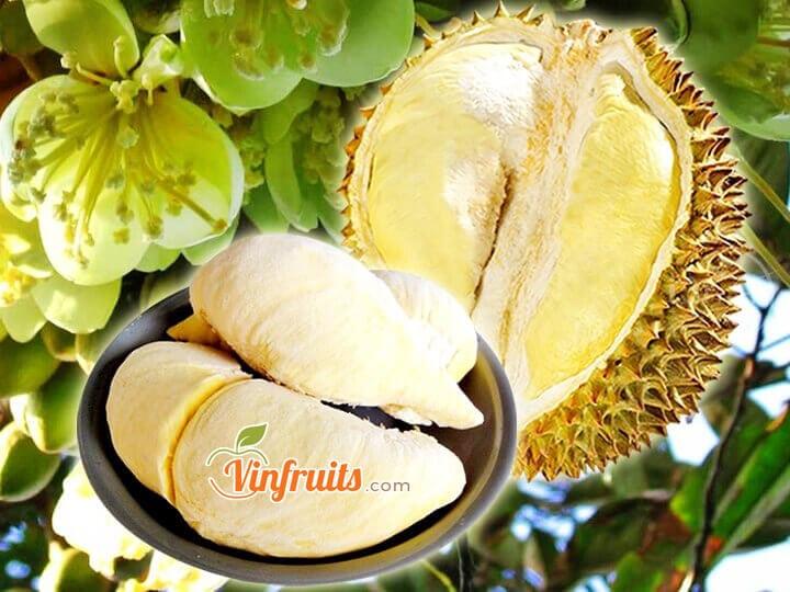 Sầu riêng Dona (Monthong Thái) - Đaklak - Vinfruits