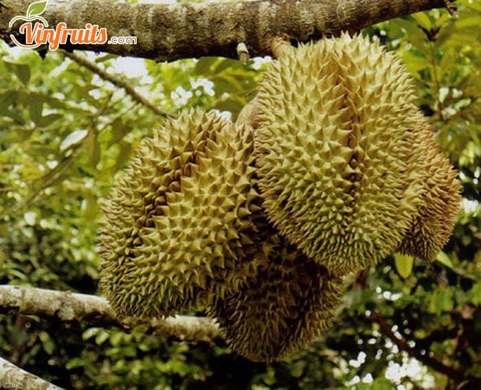 Sầu riêng Kampot Campuchia - Vinfruits