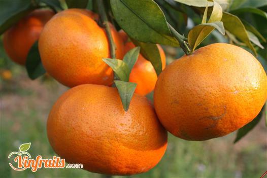 Đặc sản cam bù Hương Sơn - Vinfruits
