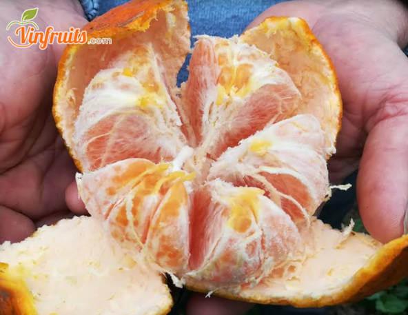 Cam bù dễ tách vỏ, rất thơm ngọt - Vinfruits