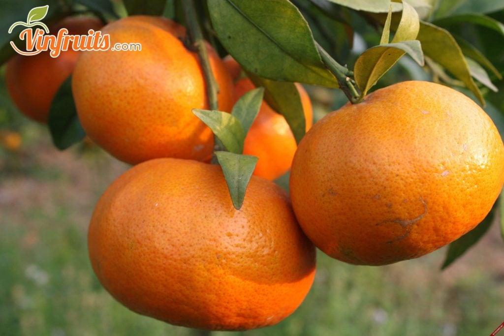 Cam canh xã Vân Canh, H. Hoài Đức, HN - Vinfruits