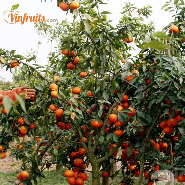 Vườn cam Canh - Vinfruits