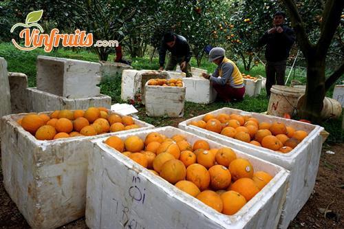 Cam Cao Phong cho sản lượng lớn - Vinfruits