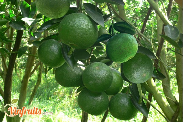 Cam Mật cho trái quanh năm - Vinfruits