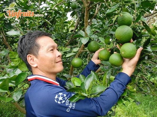 Cây cam Mật cho trái to đẹp - Vinfruits