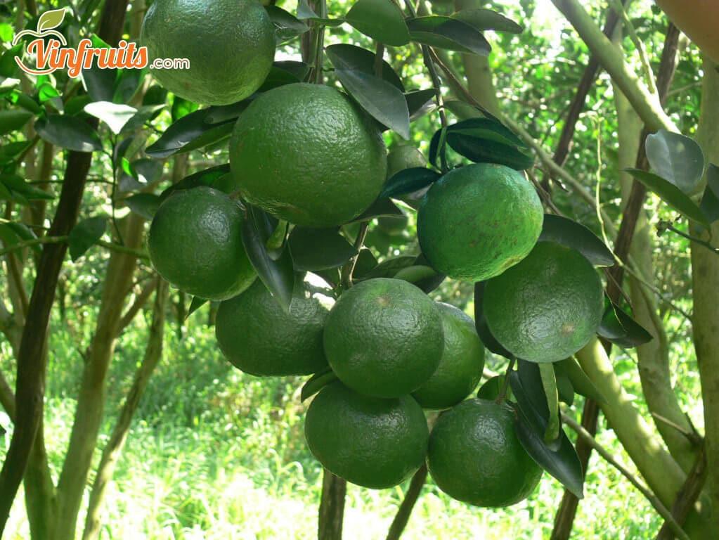 Cam sành miền Tây - Vinfruits