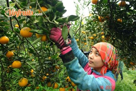 Cam sành Bắc Quang chín cây vào tháng 11 Âm Lịch - Vinfruits